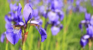 Comment cultiver des iris